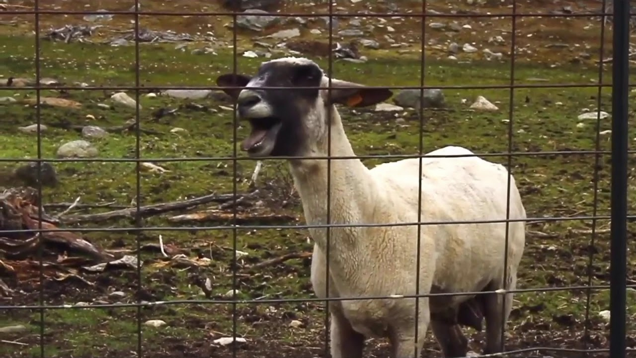 Little baby goat screaming ( really funny) - YouTube  Mom Screaming Goats Funny