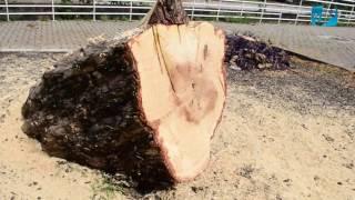 Corte de árvore causa comoção