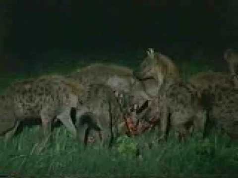 Lion's Vs Hyena AWESOME!!! Watch a Male Lion in action ...