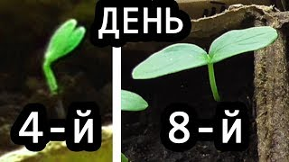 Обзор РОСТА ОГУРЦОВ на 4-й, 6-й и 8-й день и КАБАЧКОВ