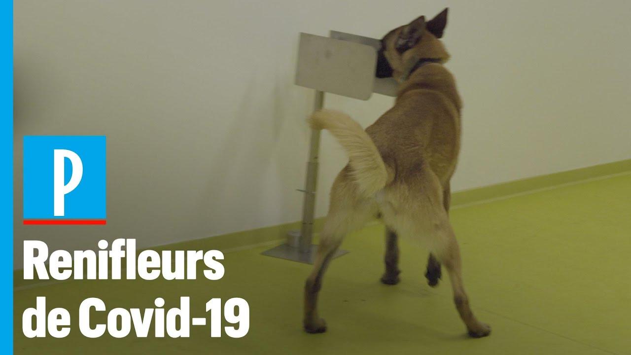 Coronavirus : des chiens entraînés pour dépister le Covid-19