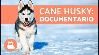 Siberian Husky: carattere e come accudirlo 🐺 Cane Husky: documentario