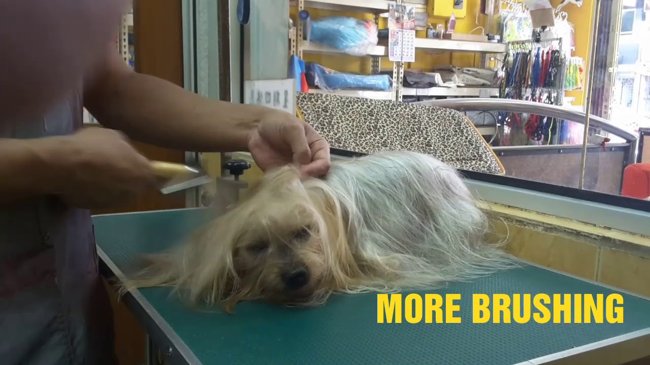 photo How to Groom a Silky Terrier