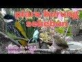 Piara Burung Sekebun Kandang     Persegi  Mp3 - Mp4 Download