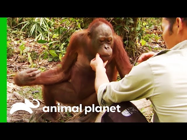 Will Jordan's Finger Need To Be Amputated? | Orangutan Island