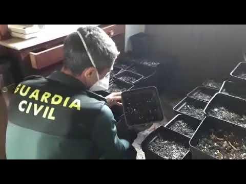 La plantación de marihuana de Ribadumia, enganchada a la red eléctrica