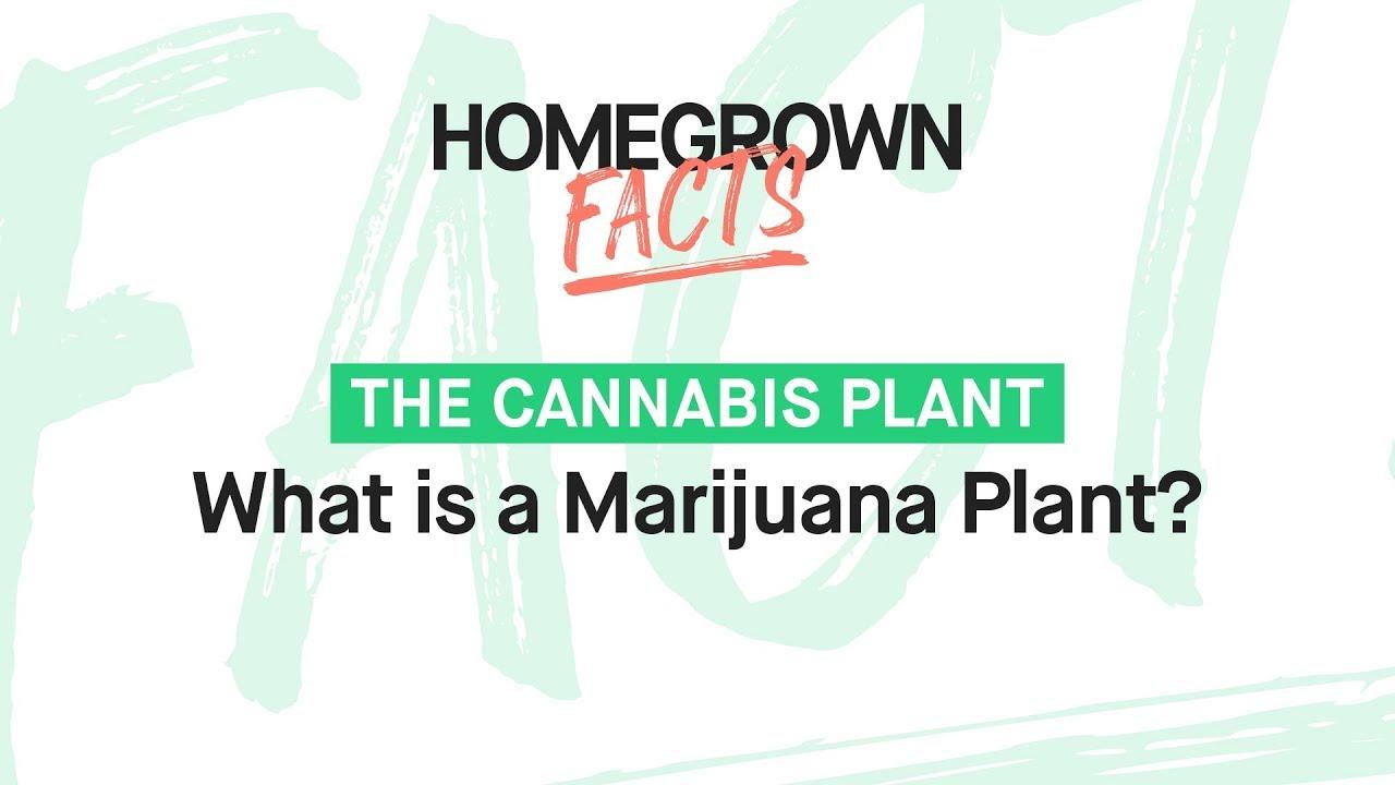What is a marijuana plant?