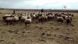 Kayıp koyun sürüsü drone ile bulundu
