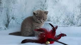 Британский кот Deor играет, купить из питомника