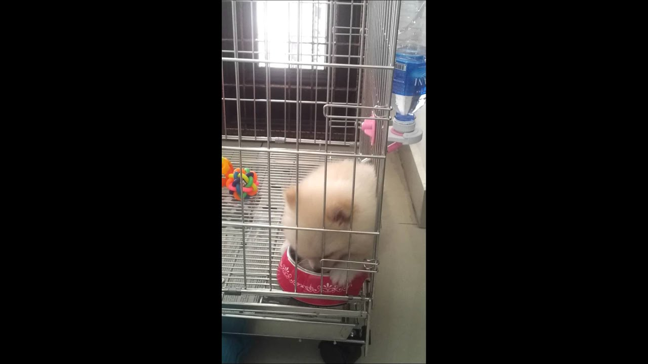 Pomeranian Puppy Pommy Wants To Get Off The Cage Youtube