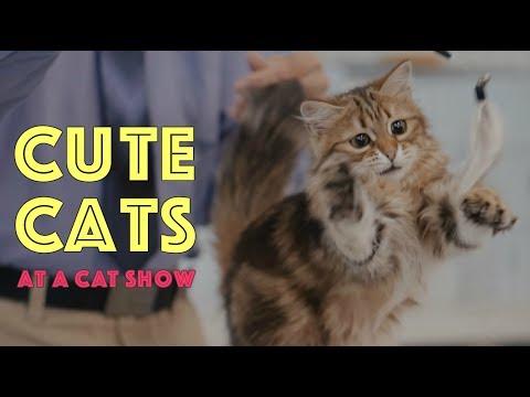 Cute Cats at a Cat Show | TICA Cat Show