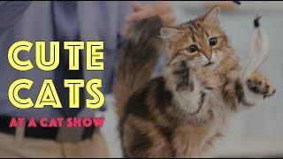 Cute Cats at a Cat Show   TICA Cat Show