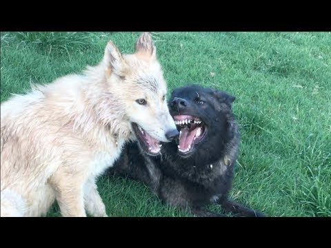 A Wolf Pup Finds a Friend Like Her to Play With