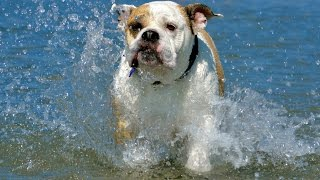 Bulldog at Butterfly Beach