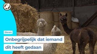 Beuningense boer vol ongeloof na alpaca-roof