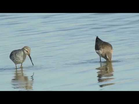 Stilt Sandpipers foraging (slow motion)