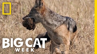 Sneaky Scavengers | Big Cat Week