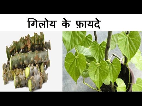 गिलोय के फ़ायदे | Health Benefits of Giloy | Giloy for Jaundice, fever, weight loss and Arthritis