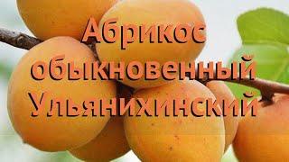 Абрикос обыкновенный Ульянихинский 🌿 обзор: как сажать, саженцы абрикоса Ульянихинский