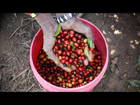 Estate Grown Coffee in the Highlands of Tanzania | Mondul Coffee Estates