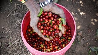 Estate Grown Coffee in the Highlands of Tanzania | Mondul Coffee Estates