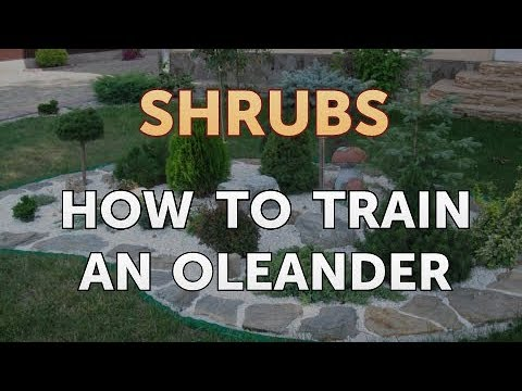 how-to-train-an-oleander