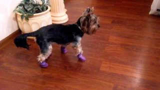 Собака в новой обуви