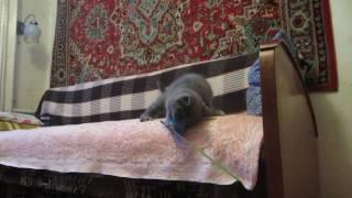 шотландские котята. Котик страйт голубого окраса Неон