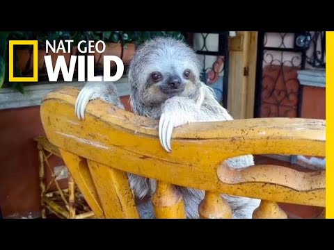 Baby Sloths Learn to Climb on Rocking Chairs | Nat Geo Wild