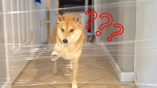 Shiba Inu's Reaction to the Invisible Challenge!
