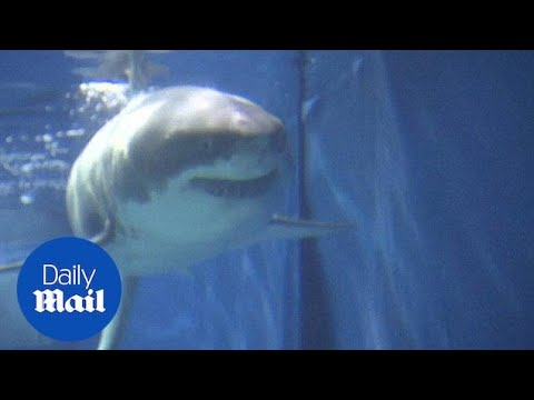 Great White Shark dies after just three days in aquarium - Daily Mail