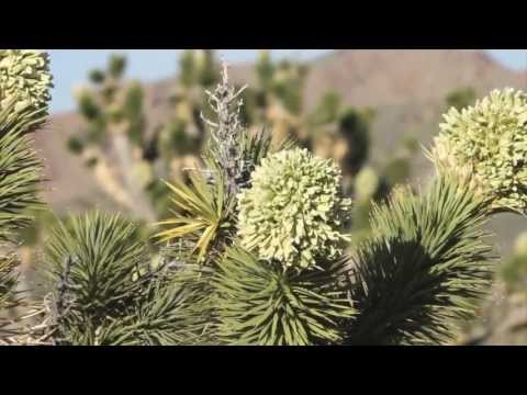 MOJAVE DESERT: Blooming Joshua Trees