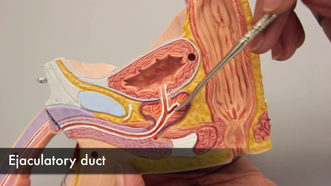 Seminal Vesicles Youtube