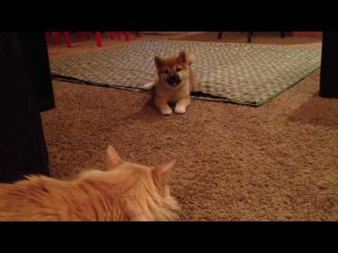 Shiba Inu puppy meets cat for first time.