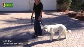 Goldendoodle - Dog Training Of Fort Myers - Patrick Logue