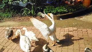 Cute Ducks In The Duck Farm Quacking Flying And Playing Around India 2015 [HD VIDEO]