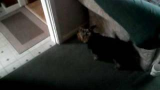 Loud Barking Competition Jack Russell V Yorkshire Terrier