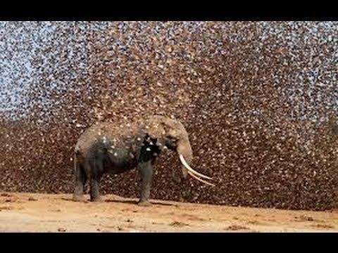 Locusts swarm Egypt