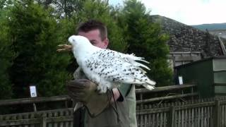 settle falconry