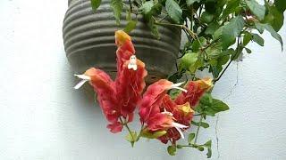 Camarão Vermelho – Conheça Essa Planta Pendente Pouco Mostrada