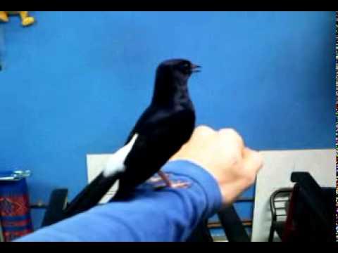 Shama bird.mp4