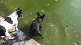Французские бульдоги всё-таки решаются зайти в воду