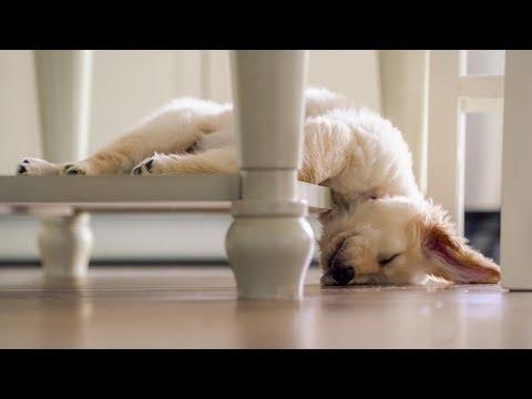 Sleepy Golden Retrievers 💤