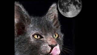 WERWOLF CAT! A Wolf Among felines! Lykoi, a brief look at a new breed of cat