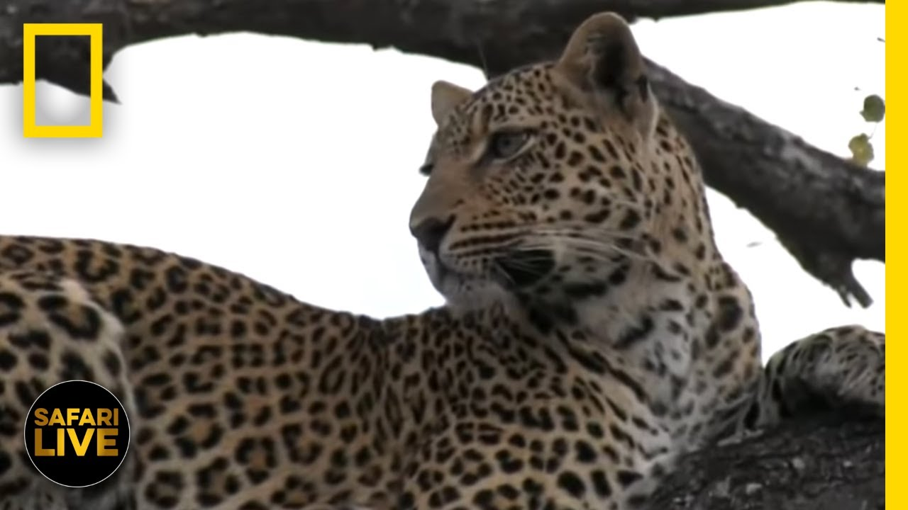 Safari Live - Day 186 | National Geographic