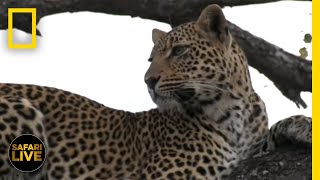 Safari Live - Day 186 | National Geographic