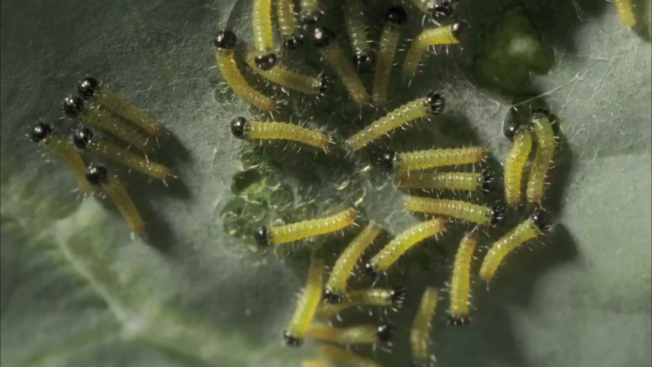 Cabbage White caterpillars emerging from eggs time lapse - YouTube