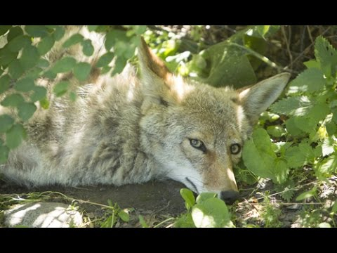 Meet Coyote, an Aboriginal