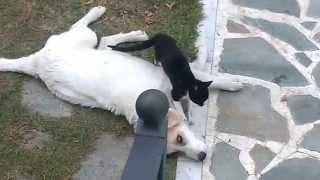 Γατος κανει μασαζ σε τσοπανοσκυλο!!