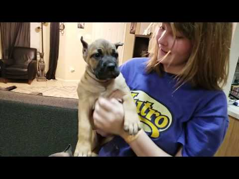 Cane Corso puppies learning dominance